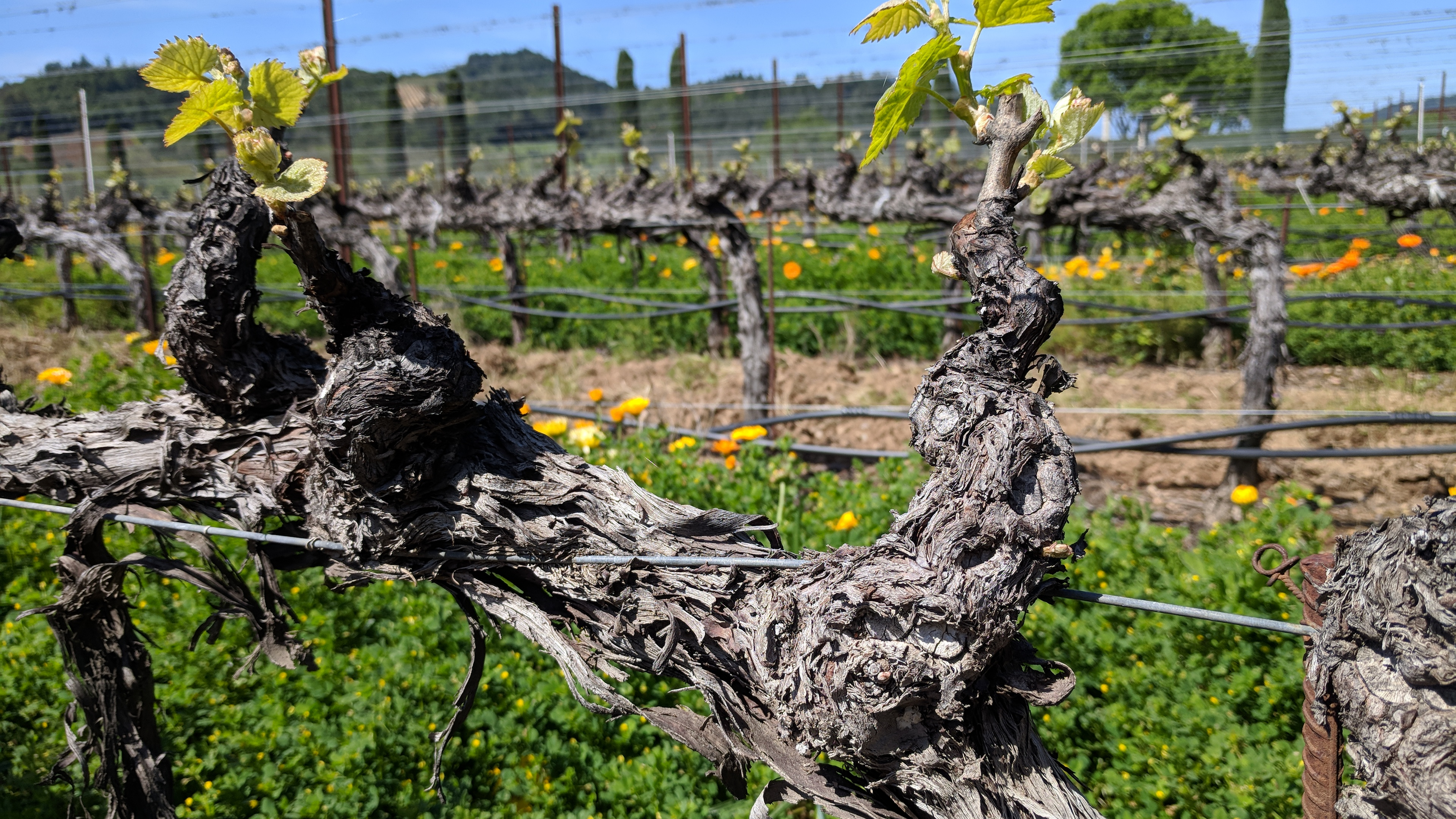 Old vine Zinfandel at Ferrari-Carano